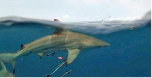 shark-week-3