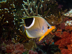 As with angel fish, there was an array of butterfly fish such as this Saddleback Butterfly