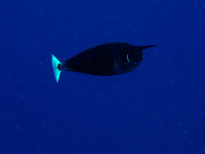 We only saw the unicorn fish on a few dives
